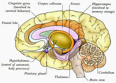 Human Anatomy and Physiology Diagrams: Human Brain Diagram
