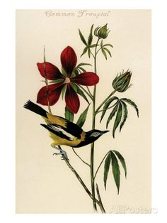 Common Troupial Posters by John James Audubon at AllPosters.com