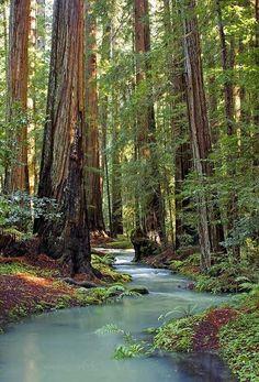 Mondocino forest, Californie