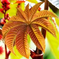 CASTOR OIL (Ricinus communis) Tropical, evergreen shrub. Commonly used for constipation. Also a wonderful analgesic oil when applied externally for sore muscles, arthiritis pain, lower back pain  nerve damage.