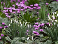Snowdrops are an essential part of the winter garden, one of the earliest flowers to bloom in late winter. They are perfect companions for hellebores, cyclamen, winter flowering shrubs or heathers.
