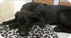 Birmingham, AL - Labrador Retriever Mix. Meet Sampson a Puppy for Adoption.