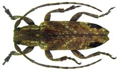 Family: Cerambycidae Size: 7.2 mm Location: Sri Lanka, Balangoda leg G.Lewis, 1982, det. Breuning, 1939 TYPE, Coll. Museum of London reconstructed 11 Antennal segment replaced right, left foreleg repositioned Photo: U.Schmidt, 2011