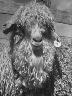 An Angora Goat Being Raised on Ranch for its Fleece, known Commercially as Mohair