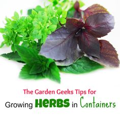 The Garden Geeks container herb gardening tips. Come join The Garden geeks on Facebook!