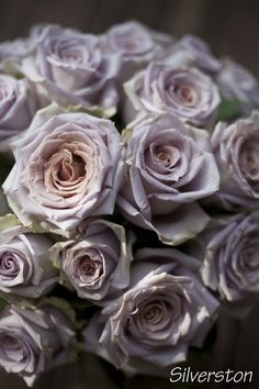 Silverston Rose, a blush, antique lavender rose by http://www.harvestwholesale.com