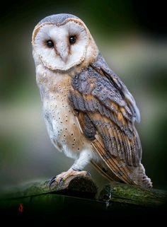Lechuza de campanario -Tyto alba-