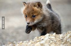 Wild Red Foxes in Northeast Russia