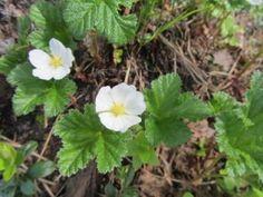 Rubus chamaemorus 'Nyby' lakka - Pinsiön taimisto