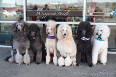 Standard poodles.  Silver, blue, apricot, cream, blue, white