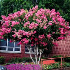 Buy Pink Velour Crape Myrtle Online. Arrive Alive Guarantee. Free Shipping On All Orders Over $99. Immediate Delivery.