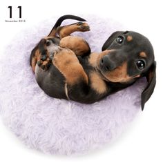 Artlist Collection THE DOG — Dachshund