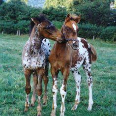 Baby Appaloosa horses