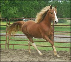 The horse I wish I could have bought last year.  Love the flaxen! Blue Haven Farms Tennessee Walking Horses