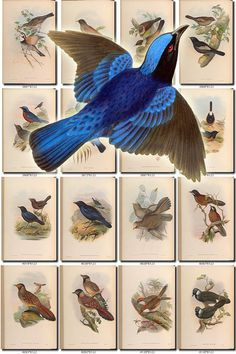 BIRDS-148 Collection of 182 vintage pictures Thrush Merula Affghan Thrush, Albatross, All-Green Phyllornis, Allied Ianthocincla, Allied Thrush, American Hawk-Owl, American Horned Cock, American Partridge, American Pelican, American Rail, American Redstart, Anas Americanus, Anas Bahamensis, Anas Cristatus, Anas Minor, Anderson
