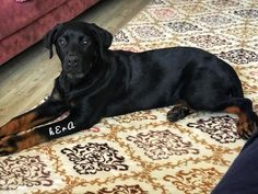 #rottweiler  #rotherham  #rotterdam  #dog #dogs #hayvan