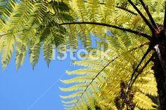New Zealand Punga Fern Royalty Free Stock Photo