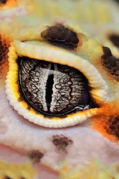 If looks could kill gid ferrer like this гекконы, глаза 및 ящерицы. Les Reptiles, Cute Reptiles, Reptiles And Amphibians, Eye Photography, Animal Photography, Beautiful Creatures, Animals Beautiful, Reptile Eye, Regard Animal