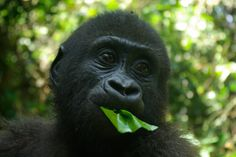 Gorillas live in groups called troops. Troops tend to be made of one adult male or silverback, multiple adult females and their offspring. However, multiple-male troops also exist. A silverback is typically more than 12 years of age, and is named for the distinctive patch of silver hair on its back, which comes with maturity.