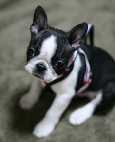 Here is a photo of a Boston Terrier at 3 months old named Amanatsu from Saitama, Japan.
