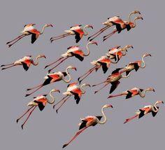A squadron of Flamingos flying in close formation. Flock Of Birds, Wild Birds, Birds In Flight, Flamingo Art, Pink Flamingos, Pretty Birds, Beautiful Birds, Pink Bird, Tropical Birds