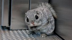 Funny pictures about Siberian Flying Squirrel. Oh, and cool pics about Siberian Flying Squirrel. Also, Siberian Flying Squirrel photos. Cute Squirrel, Baby Squirrel, Squirrels, Funny Animal Memes, Funny Animals, Cute Animals, Cute Animal Pictures, Funny Pictures, Animal Pics