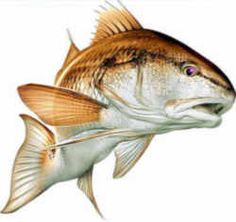 North Carolina State Saltwater Fish - Channel Bass (Red Drum)