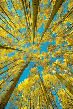 Things Are Looking Up! by Henrik Anker Bjerregaard Lundh III - Photo 84915065 / Nature Pictures, Cool Pictures, Beautiful Pictures, Tree Photography, Landscape Photography, Forest Light, Aspen Trees, Plantation, Fantastic Art