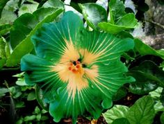 Rare green rosa-sinensis hibiscus OMG... I REALLY WANT ONE OF THESE....