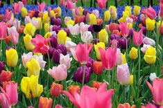 To achieve optimum flowering results, it is important to plant the bulbs at the right time.