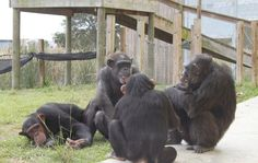 Judge Rules Chimps Can't Be Legal Persons, But Activists Vow to Fight On - Wired Science.    This is so sad.