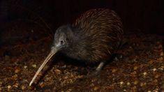 Kiwi birdlife park owner's desperate plea for help to keep 'wolf from door'   Stuff.co.nz Alpine Adventure, Lake Wakatipu, Australia Tours, Small Group Tours, Helicopter Tour, Wildlife Park, Bird Species, Pacific Ocean