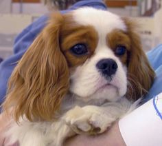 cavalier puppies   Cavalier Puppy - Joey