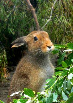 Cute hare =3 by Lunnika-Horo.deviantart.com on @DeviantArt