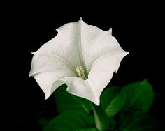 White Moonflower One Night Blooming Datura Flower Devil's Trumpet Dark Romance Black Background Botanical Floral Art Photography Photo Print Trumpet Lily, Angel Trumpet, Dark Romance, Hummingbird Flowers, Modern Photographers, Photography Photos, Flower Photography, Art Floral, Green Flowers