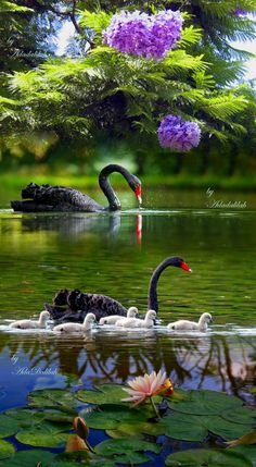 I Love Pictures,Enjoy My Beautiful World. Beautiful Swan, Beautiful Birds, Animals Beautiful, Beautiful Family, Beautiful Things, Beautiful Nature Wallpaper, Beautiful Landscapes, Pretty Birds, Love Birds