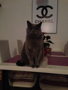 Tom cat called Chanel. He knows where he belongs...