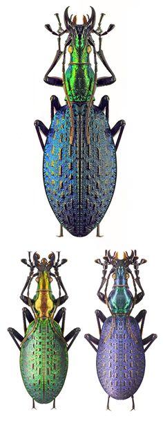 Coptocalabrus constricticollis