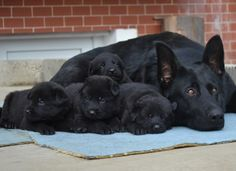 Litter Size of Black German Shepherd Click the picture to read