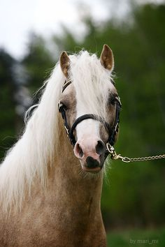 Welsh pony - photos - equestrian.ru