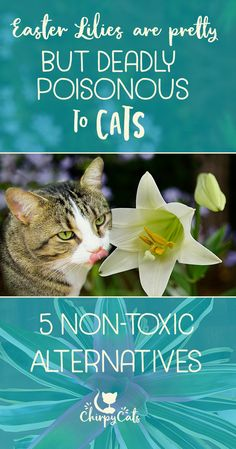 Lilies are highly toxic to you cat but here are 5 cat-safe plants that are equally pretty to look at. via @chirpycats