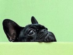 """""""You know I can see EVERYTHING you're doing?""""....""""right?"""", nosy French Bulldog Puppy"""