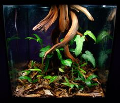 Forest floor terrarium: Typical terrarium/vivarium plantings use built-up 3-dimensional backgrounds structures, Forest Floor Terrariums instead use robust plant growth and movable features such as driftwood stumps to fill the vertical space.