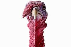 Interesting Facts You May Not Know About Turkeys