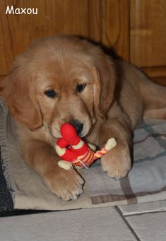 Maxou, petit Golden Retriever Breton