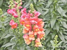 Snapdragons are cool season flowers that grow easily in most gardens and start the gardening season of with a wild splash of color. Here are some tips.