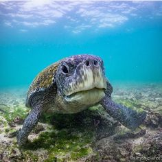 Insta / underwater_pig:  lets show some respect to the older generations of our underwater world. Thank you to @simonjpierce for this great shot of this green sea turtle captured in #isabelaisland #galapagos The green turtle is a large weighty sea turtle with a wide smooth carapace or shell. It inhabits tropical and subtropical coastal waters around the world and has been observed clambering onto land to sunbathe. It is named not for the color of its shell which is normally brown or olive…