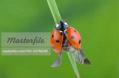 Seven-spotted Ladybug With Open Wings on a Blade of Grass