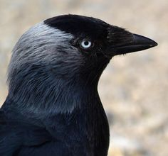 Portrait of an adult Jackdaw
