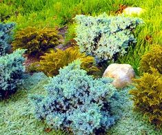 ) Rugged evergreen ground covers, including hebes and junipers, join creeping thymes to show off various tints of green combined with flattering hues of bronze and gold. Perennial Ground Cover, Ground Cover Plants, Green Flowers, Green Leaves, Silver Plant, Ornamental Grasses, Geraniums, Shades Of Green, Garden Plants